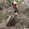 "<div align=""left"">The red pouch Brown Pelicans have been regular residents on the island—their bright red pouch seen during breeding season is ALWAYS a treat. <em>Photo credit: Diane Nunley</em></div>"