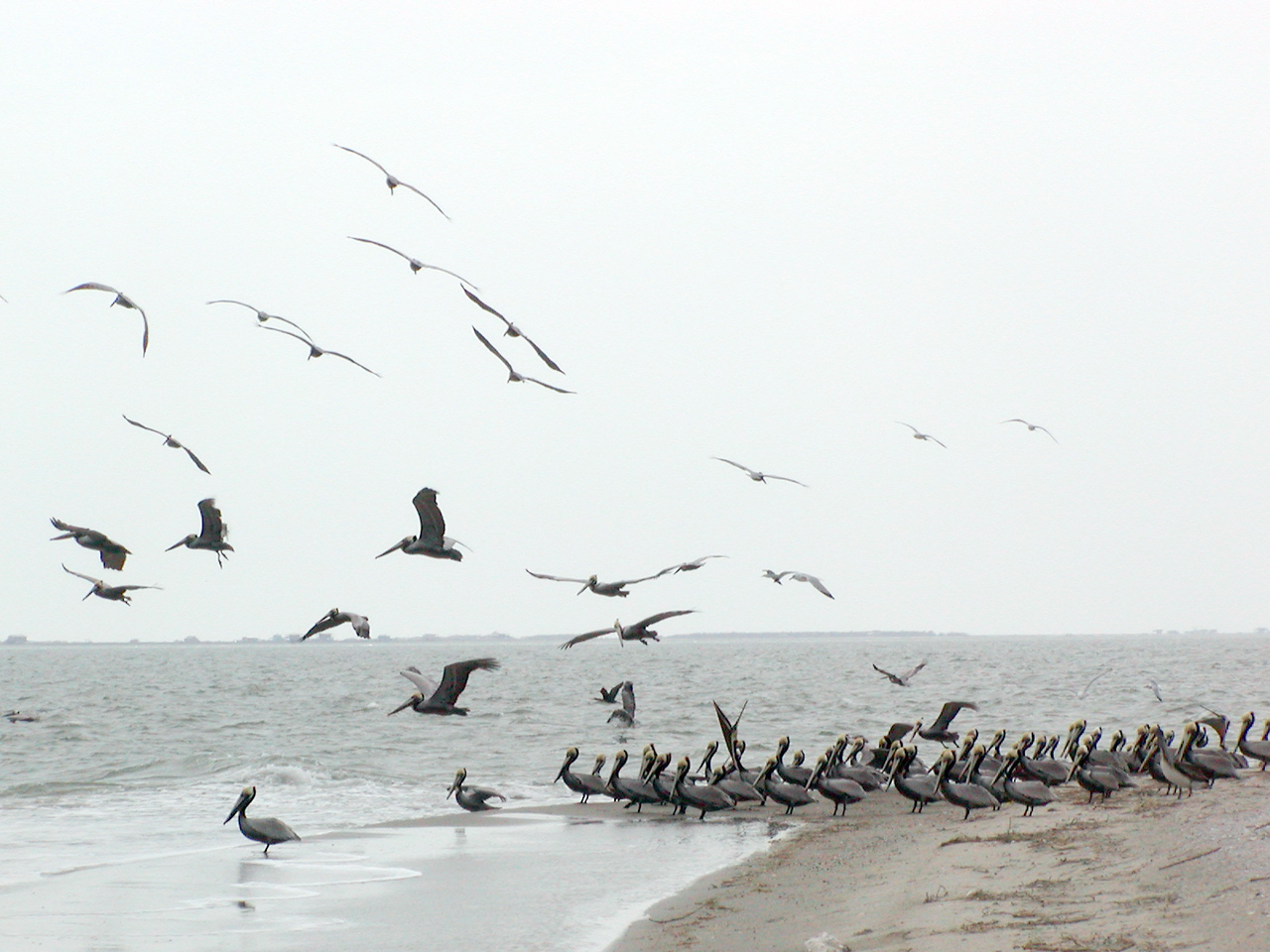A group of mostly adult Brown Pelicans in breeding plumage hung out on the East side of the island on workday.  Mostly, they were just waiting for us to leave. (Photo credit: Rebeka Olson)