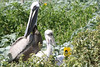 Parent with American Brown Pelican fledglings. <em> Photo credit: Marcy Crowe Spears</em> </div>