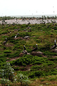 Great view of the tern colony behind the nesting Brown Pelicans—no doubt the photo was taking from the ladder!  Photo credit: Brent Ortego