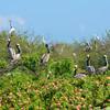 Nesting Brown Pelicans. <em>Photo credit: Peggy Wilkinson<em>
