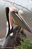 Brown Pelican.  Is this an early red pouch pelican? <em>Phtographer: Marcy Crowe Spears</em>