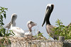 Adult American Brown Pelican with fledglings. <em> Photo credit: Marcy Crowe Spears</em> </div>