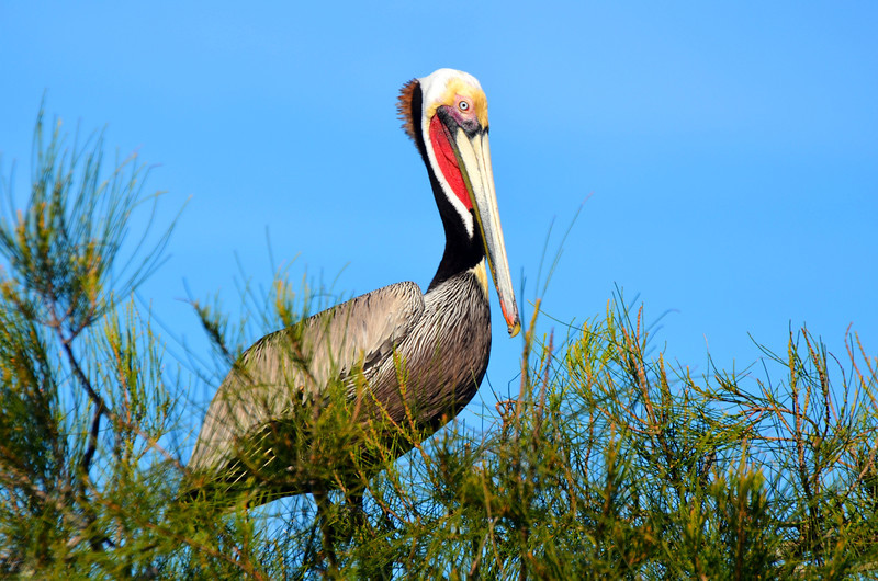"""<div align=""""left"""">This is a splendid example of a red-pouched Brown Pelican. <em>Photo credit: Peggy Wilkinson</em> </div>"""