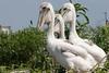 American Brown Pelican fledglings. <em> Photo credit: Marcy Crowe Spears</em> </div>