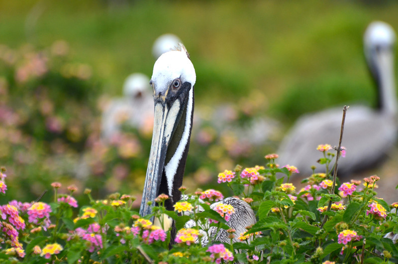 In years when the island gets enough rain, the Lantana can be prolific. Brown Pelicans love the nest in, around, and on top of the Lantana. <em>Photo credit: Peggy Wilkinson </em></div>