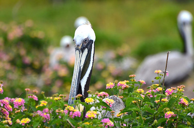 In years when the island gets enough rain, the Lantana can be prolific. Brown Pelicans love the nest in, around, and on top of the Lantana. Photo credit: Peggy Wilkinson
