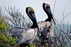 "<div align=""left"">Two adult Brown Pelicans watching the photographer.<em>Photo Credit: March 2009, Peggy Wilkinson.</em></div>"