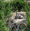 Pelican chicks in the nest, waiting for feathers. Photo credit: Peggy Wilkinson.