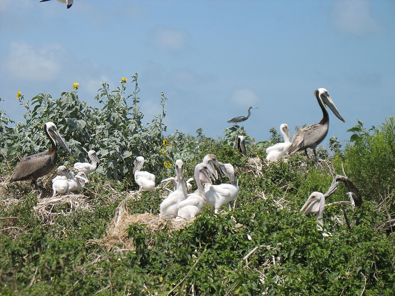 Photo of Brown Pelican adults and chicks along a ridge near the center of the island. This photo and the ones that follow were taken on Sunday by Judy Threader.