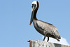 Adult Brown Pelican. <em> Photo credit: Marcy Crowe Spears</em> </div>