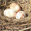 Brown Pelican eggs—already! <em>Photo credit: Peggy Wilkinson<em>