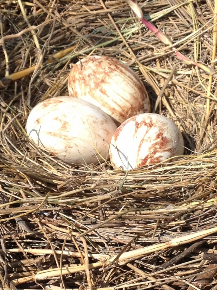 Brown Pelican eggs—already! Photo credit: Peggy Wilkinson
