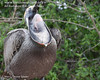 Brown Pelican yawning.  I gotta look this up.  I don't know what I'm looking at exactly. <em>Phtographer: Marcy Crowe Spears</em>