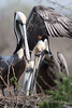 Brown Pelican couple. <em>Phtographer: Marcy Crowe Spears</em>