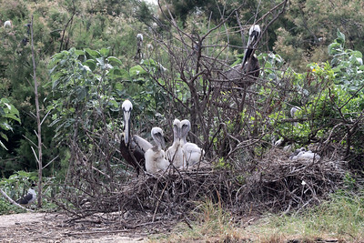 A dead tree doesn't look like such a nice spot, but it holds two active nests and six fledglings.  Photo credit: Brent Ortego