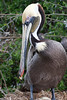 Brown Pelican nesting, two eggs. <em>Phtographer: Marcy Crowe Spears</em>