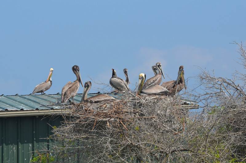 Juvenile (mostly) Brown Pelicans hanging out by the tractor shed. <em>Photo credit: Peggy Wilkinson<em>