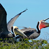 "<div align=""left"">Do we have red-pouch and brown pouch Pelican love going in here? <em>Photo credit: Peggy Wilkinson</em> </div>"