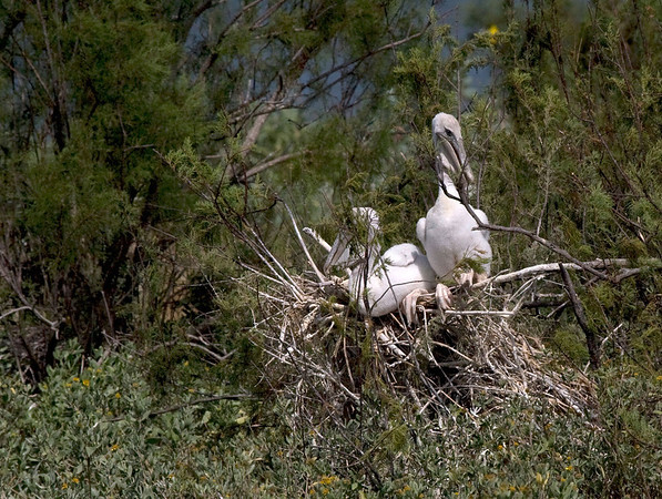 The location of this nest is on the south side of the island, in a brushy tree.  I was surprised to see a nest in this location.  Most of the nesting pelicans are located inside the island or on the grassy fringes of the east and northwest sides of the island.  <em>Photo credit: Marcy Spears</em>