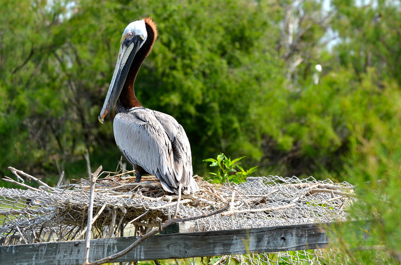 This Brown Pelican appears to be making a nest on one of the last remaining platforms.  While Chester Smith was the warden, many of these platforms were built to provide nesting space off of the ground to protect the chicks from Fire Ants. <em>Photo credit: Peggy Wilkinson </em></div>