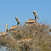 Nesting Brown Pelicans. <em>Photo credit: Peggy Wilkinson<em>