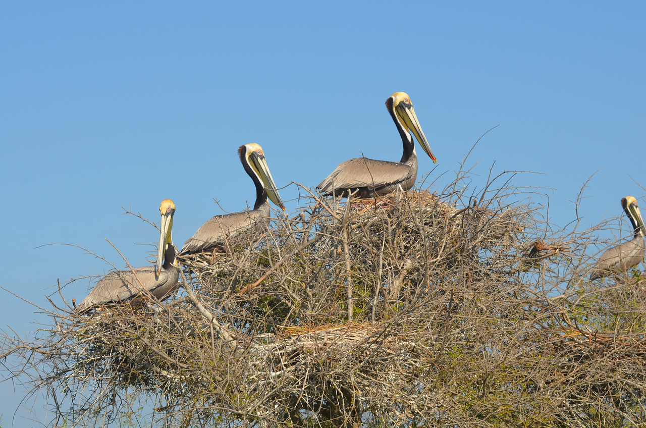 Nesting Brown Pelicans. Photo credit: Peggy Wilkinson