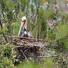 Diane said this red pouch Brown Pelican was adding a stick to the nest.  He/she kept moving the piece here and there to get it just right. <em>Photo credit: Diane D. Nunley</em></div>
