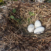 Brown Pelican nest with eggs. <em>Photo credit: Marcy Spears</em>