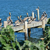 "<div align=""left"">View of the dock with Brown Pelicans looking through the Silver-Leaf Sunflowers. <em>Photo credit: Peggy Wilkinson</em> </div>"