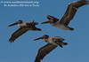 <h2>Three juvenile brown pelicans fly over as the volunteers are arriving.  </h3></strong> <em>Photo credit: Marcy Crowe Spears</em>