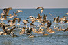 Brown Pelicans.  <br><em>Photo credit:  Peggy Wilkinson</em>