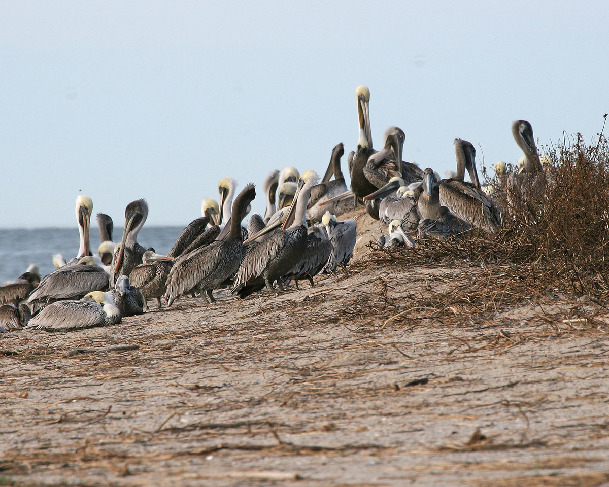 """This is on the southeast edge of the island.  The young birds had some kind of """"king of the hill"""" thing going on here."""