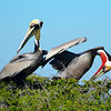 "<div align=""left"">Do we have red-pouch and brown pouch Pelican love going in here? See the next two photos as well! <em>Photo credit: Peggy Wilkinson</em> </div>"