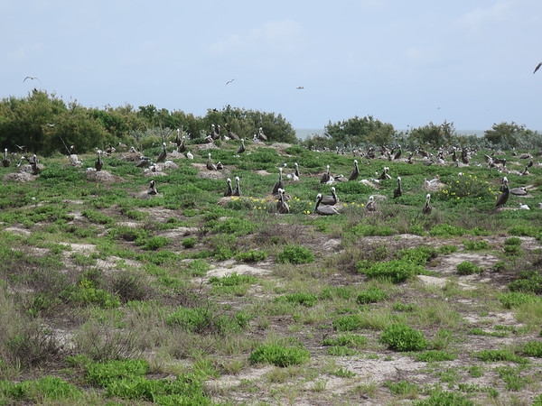 "Brown Pelicans will also nest on the ground. You have to get to the island early to get a ""condo spot."" <em> Photo credit: Brent Ortego</em>"