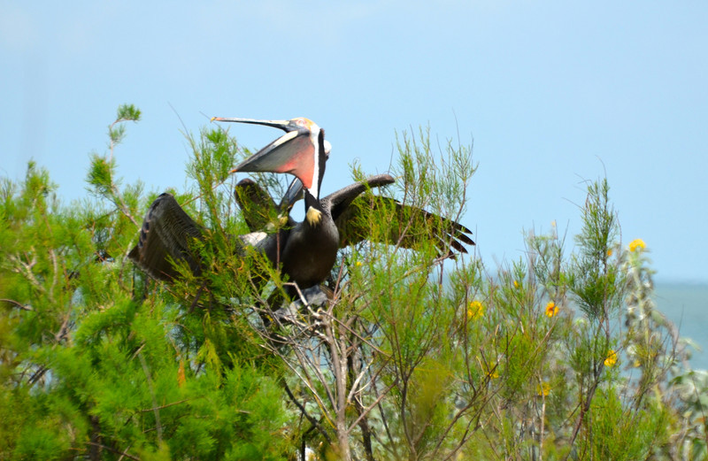 A pair of Brown Pelicans coupling up. <em>Photo credit: Peggy Wilkinson </em></div>