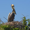 Nesting Brown Pelican. <em>Photo credit: Peggy Wilkinson<em>