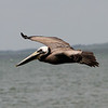 Great shot of a flying adult Brown Pelican. <em> Photo credit: Brent Ortego</em>