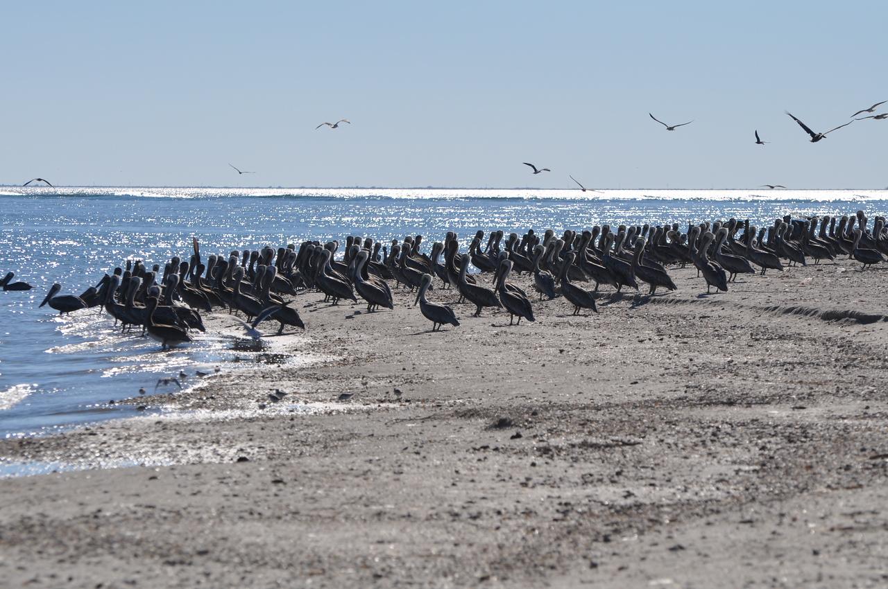 Brown Pelicans. Photo credit:  Peggy Wilkinson