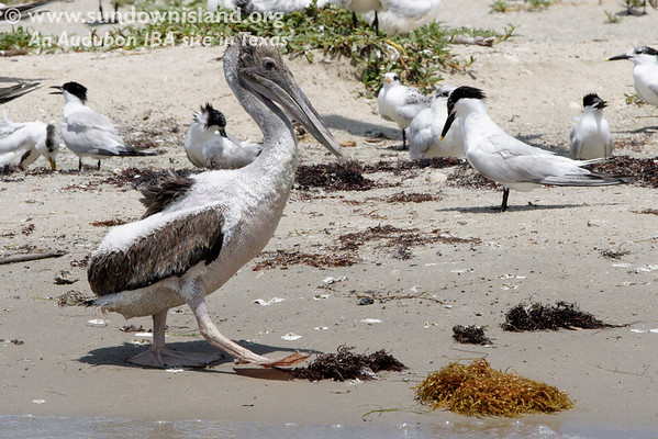 This American Brown Pelican fledgling seem to have escaped the nest and decided to stroll along the beach.  The baby terns and their parents were not too happy about it either.  The fledgling didn't pay much attention to them.