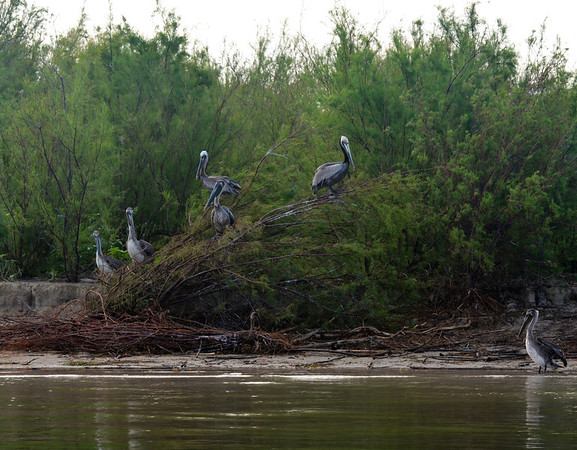 Brown Pelicans on the South side of the island. <em>Photo credit: Peggy Wilkinson<em>