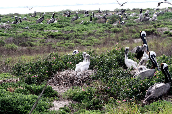 It almost looks like the pelicans on the north part of the island starting nesting first.  The fledglings are so much larger than those found in many of the nests on the south side. <em> Photo credit: Brent Ortego</em>