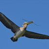 Adult Brown Pelican with nesting material. <em>Photo credit: Peggy Wilkinson<em>