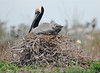 "<div align=""left"">This photo of a nesting Brown Pelican is incredible.  This bird looks like it has learned the issue of flooding or other hazards based on the nest's height. <em>Photo Credit: March 2009, Peggy Wilkinson.</em></div>"