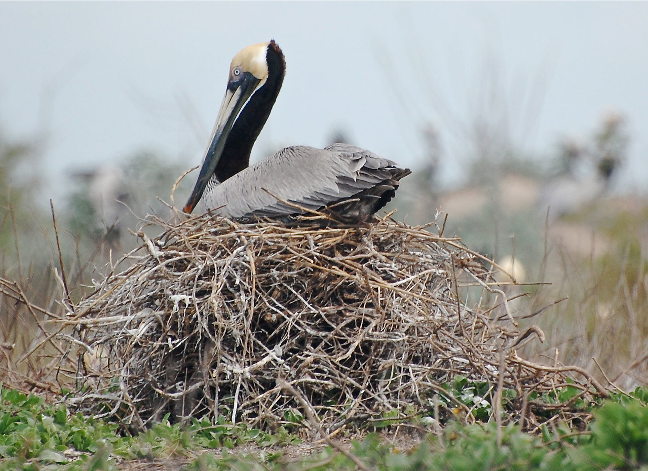 This photo of a nesting Brown Pelican is incredible.  This bird looks like it has learned the issue of flooding or other hazards based on the nest's height. Photo Credit: March 2009, Peggy Wilkinson.