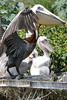 Adult American Brown Pelican with fledglings. <em> Photo credit: Marcy Crowe Spears</em> </div>