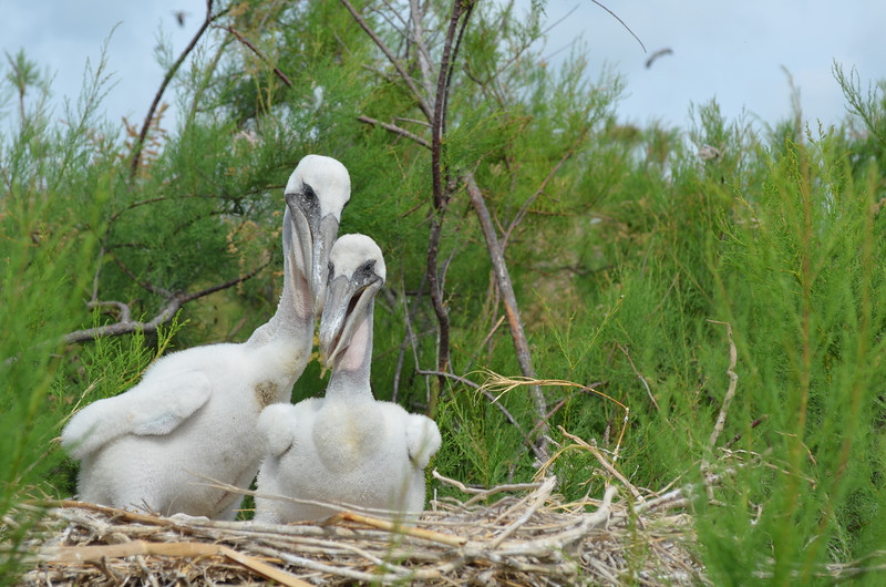 It seems as these two Brown Pelican fledglings posed for Peggy. <em> Photo credit: Peggy Wilkinson</em>