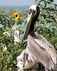 Adult Brown Pelican with fledglings. <em> Photo credit: Marcy Crowe Spears</em> </div>