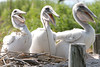 Larry, Moe & Curly... American Brown Pelican fledglings. <em> Photo credit: Marcy Crowe Spears</em> </div>