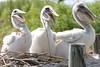 Larry, Moe & Curly... American Brown Pelican fledglings. <em> Photo credit: Marcy Crowe Spears</em> </div>